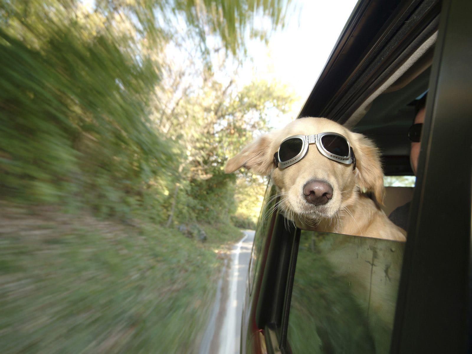 Viajar con perro en coche