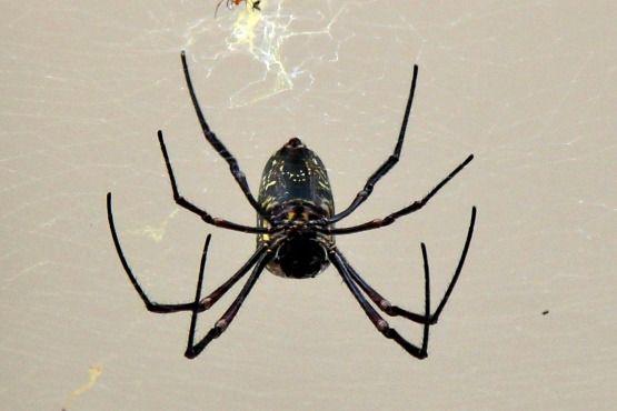 Arañas Malasia