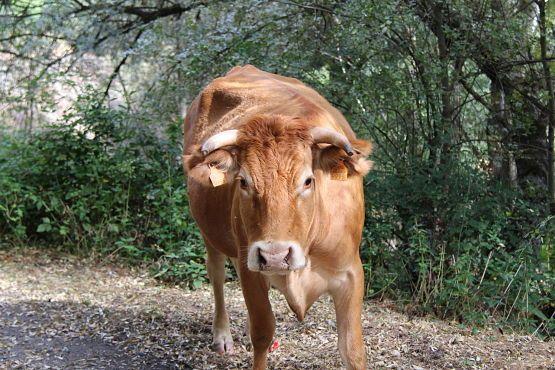 Vacas Ponton de la Oliva