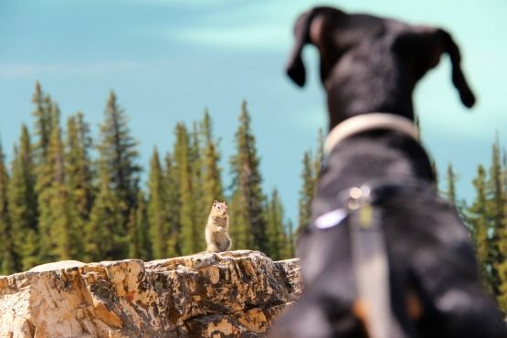 Viajar con Perro a Canadá Ardillas