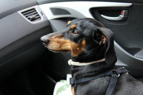 Viajar con Perro a Canadá Coche