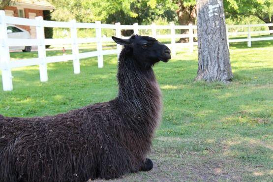 Viajar con Perro a Canadá Llama Kamloops