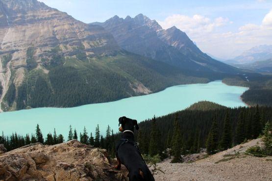 Viajar con Perro a Canadá Peyto Banff