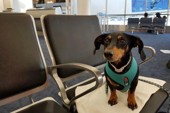 como viajar con un perro en avion