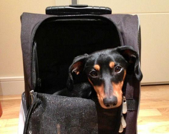 meter al perro en la cabina del avion