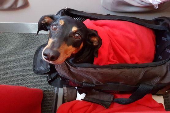 viajar en avion con perro