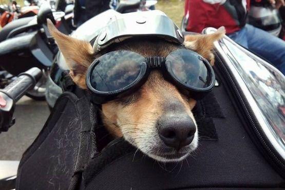 viajar con perro en moto vulcan