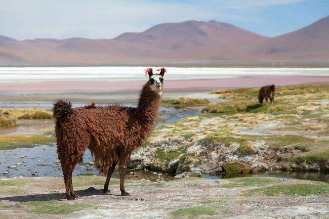 llamas de bolivia