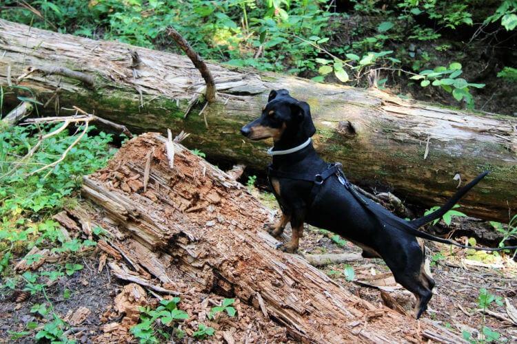 perro jugando en el bosque
